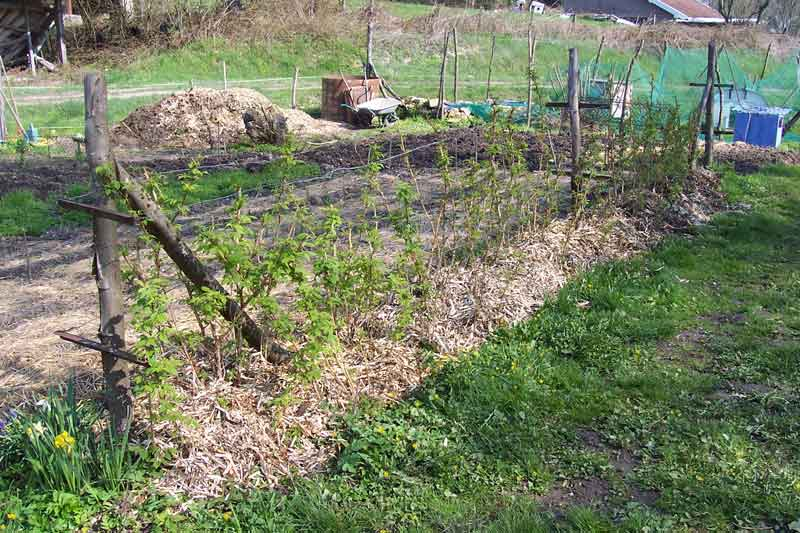 ou planter des framboisiers